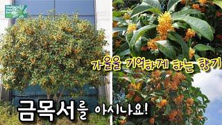 금목서/가을의향기/황금색꽃/추천나무/♡별꽃농부65원예&…