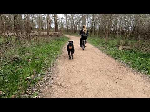 Rottweiler Running On Trail (Pt2)