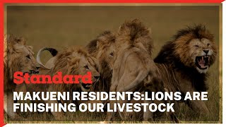 Lions terrorize residents of Kawala Village in Makueni County by mauling their livestock