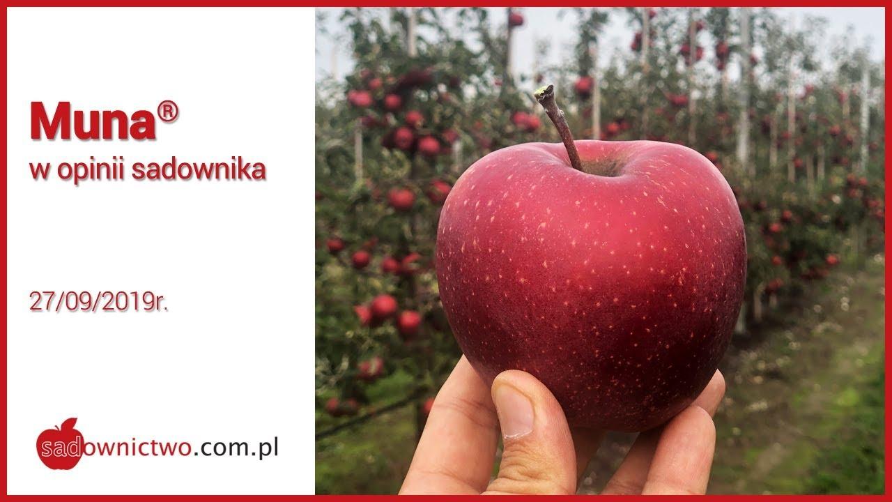 Download Muna 2019 - w opinii sadownika - [odmiany jabłoni / apple variety]