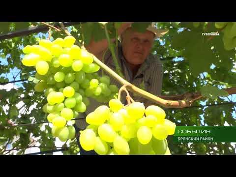 Семья Кошман из посёлка Супонево возделывает на своём участке многосортовой виноградник