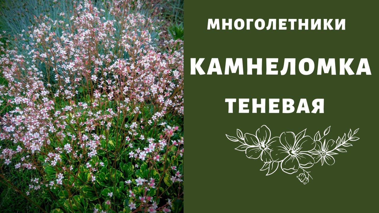 Камнеломка фото цветов. Камнеломки садовые теневые. Камнеломка в открытом грунте