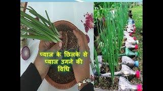 प्याज के छिलके से प्याज उगने की विधि / how to grow Onion from root tip #9