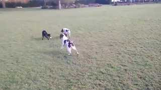 Mungle The Doberman Cross Collie Plays With Dylan The English Springer Spaniel Again