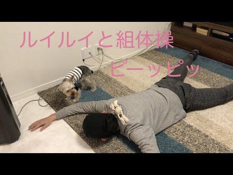 ルイルイと組体操 【ヨークシャテリア】【Yorkshire terrier】