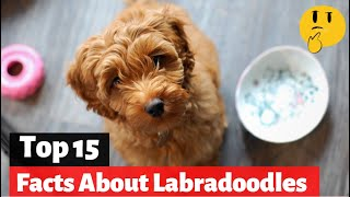 15 Facts About Labradoodles That You Should Know