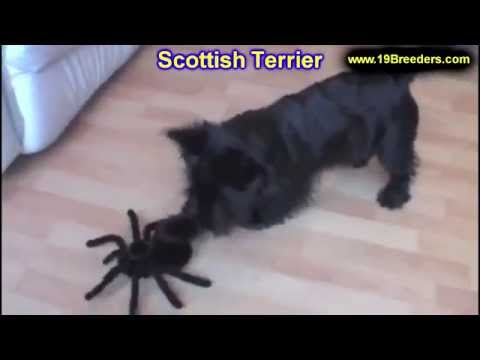 Scottish Terrier, Puppies, For, Sale, In, Billings, Montana, MT, Missoula, Great  Falls, Bozeman