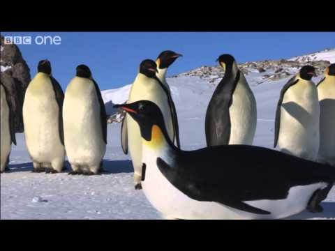 Emperor Penguins first encounter with PenguinCam - Penguins: Spy in the Huddle - BBC One