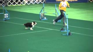 Shetland Sheepdog En Campeonato De Agility Américas Y El Caribe 2012