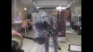 販売中のアイリッシュウルフハウンドの子犬のご紹介です! 両親は海外か...