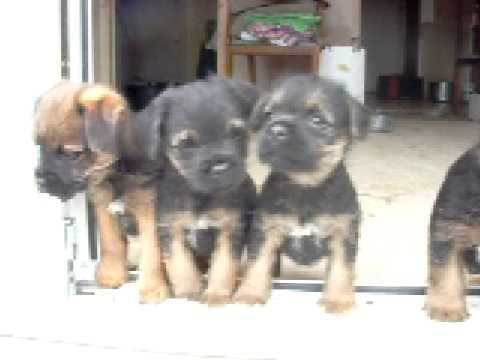 Border Terrier Puppies 5 Weeks Old Youtube