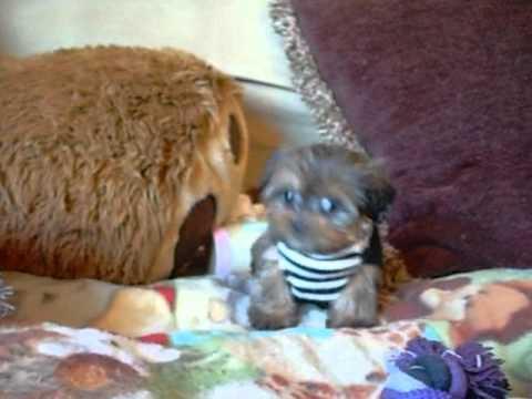 Shorkie Puppies And Shorkies Playing Shih Tzu Yorkie Mix Youtube