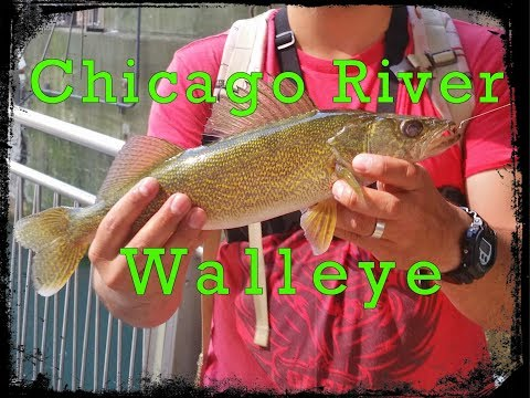 Caught a Walleye while fishing the Downtown Chicago River