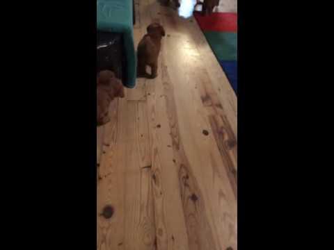 PuppyFinder.com : Puppies in action!