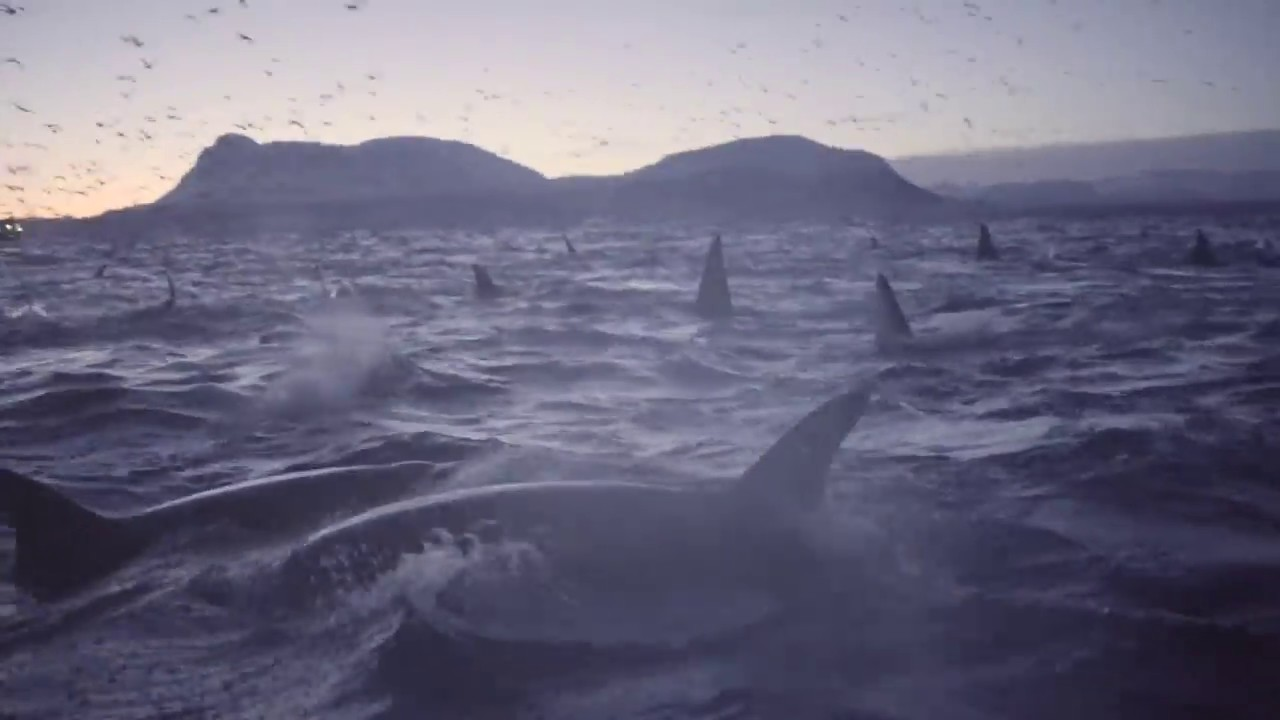 Awesome Cluster of Orcas
