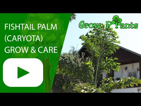 Fishtail Palm - Grow And Care (Caryota)