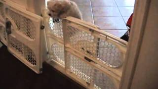 Pixel The Maltese Poo Puppy Escapes Jumping Over Baby Gate