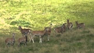 Rando en Auvergne : De Super-Besse au Mont-Dore par la face sud-ouest du Sancy (mouflons, droseras)