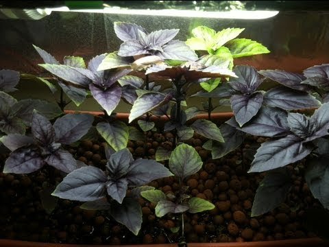 DIY Small Scale Indoor Aquaponics - Growing Purple Basil