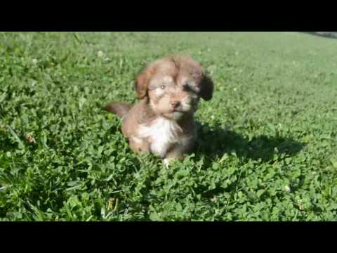 PuppyFinder.com : GIZMO, the Light Chocolate, Tan, and White Havanese Pup