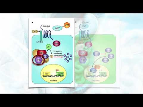 The Mechanism of Colon Cancer: APC & Wnt Signaling