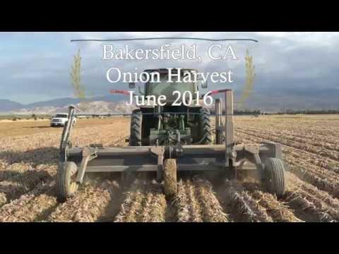 Bakersfield, CA Onion Harvest - June 2016