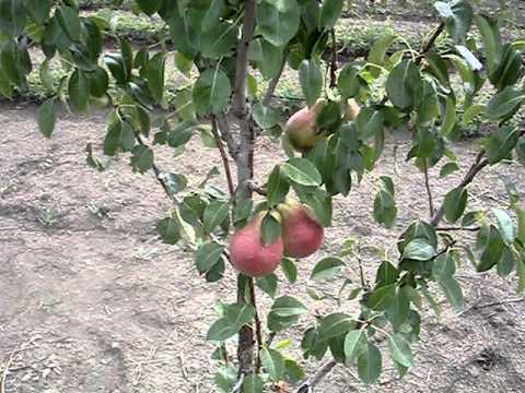 Садоводство, сорта груши.mp4
