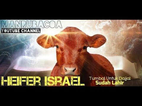Heifer (Sapi Merah) Israel Telah Lahir | Sebagai Tumbal Untuk Dajjal