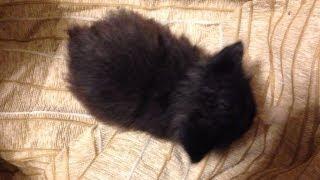 2013年3月3日生まれのノルウェイジャンフォレストキャット 子猫です。 ...