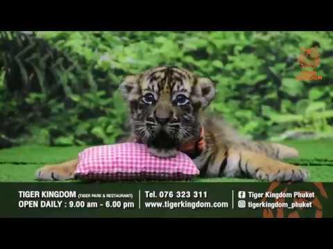 Tigers | Phuket | Tiger Kingdom
