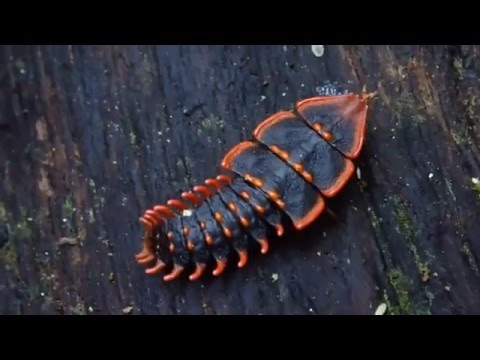 Trilobite beetle 三葉蟲紅螢[雌蟲] in Borneo mountain kinabalu
