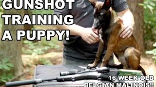 Gunshot Training A Puppy! Suppressed Subsonics