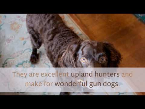13 Unique Facts You Should Know About Boykin Spaniel