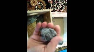 Волнистые попугаи :Птенцы волнистых попугаев:#птицы