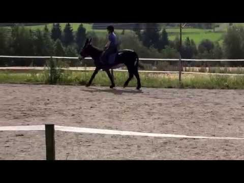 Swedish annual donkey show 2014 Noice in the dressage