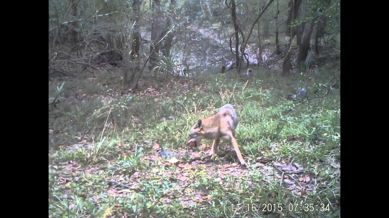 River otters and coyote interaction trail camera Katy ...
