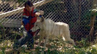If You're Vaccinating A Wolf-Dog, You Have To Corral Him First