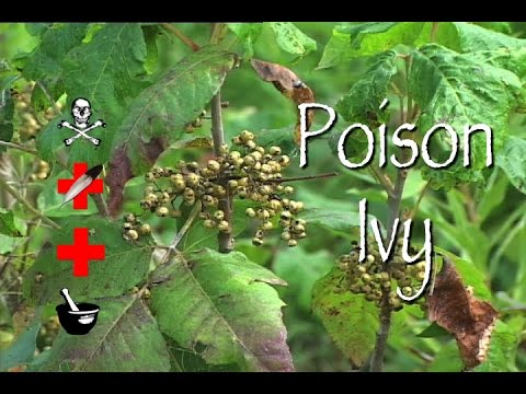 Poison Ivy: Poison, Medicinal & Other Uses