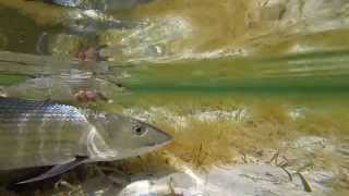 Скачать A Tale Of Tails Fly Fishing Bonefish In The Bahamas