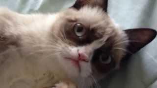 Grumpy Cat Smiles - Угрюмый Кот улыбается