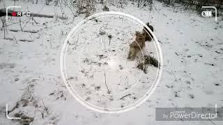 Пикинесы не собака а Хрюша)))