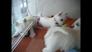 今日は4月14日に生まれたウェスティーの仔犬達をご紹介します。 今回は...