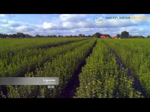 Haekplanteronline.dk - Barrodsplanter
