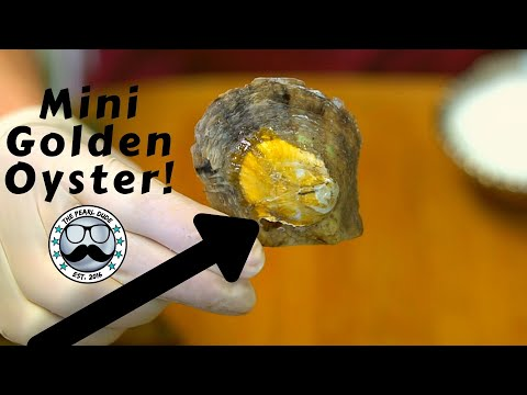 Mini Golden Oyster!