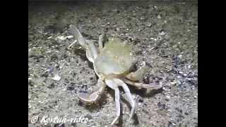 © Бешеная охота краба-плавунца // Rabid hunting swimming crabs
