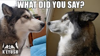 Husky Shocked I Said His Best Friends Name! He Didn't Believe me!