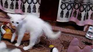 Реакция котенка на мягкую игрушку.