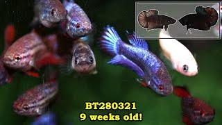 BT280321: 9 week old fry feeding on tubifex!