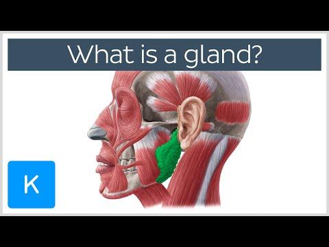 What is a gland? - Human Anatomy |Kenhub