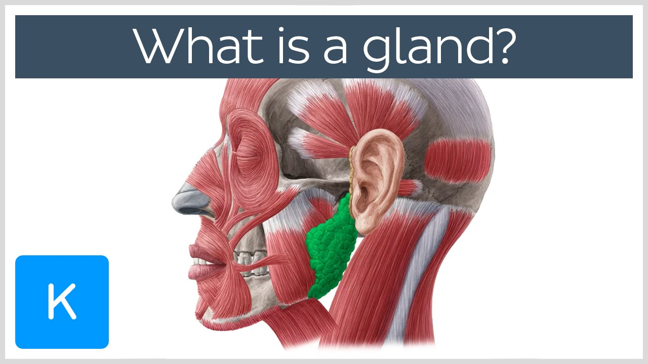 What is a gland  Human Anatomy  Kenhub  YouTube
